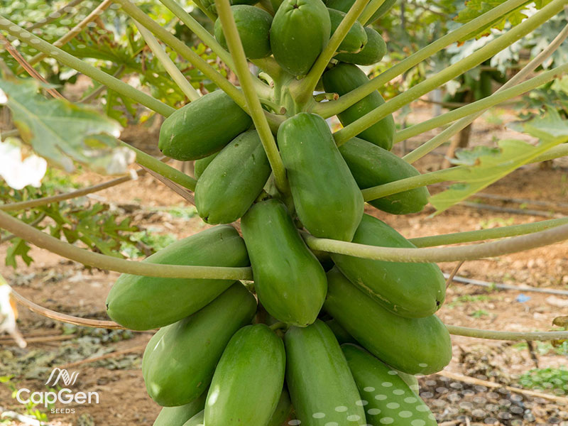 Semillas Papaya